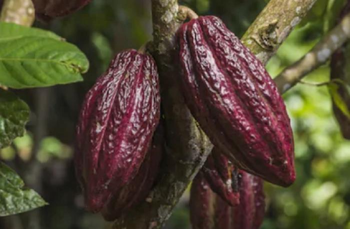 Produksi Melimpah, Ini Penyebab Konsumsi Cokelat di Indonesia Malah Rendah